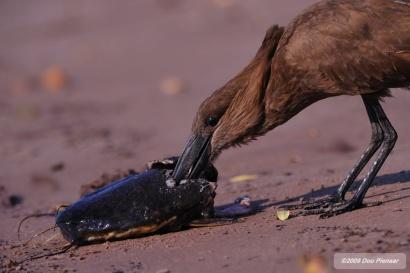 Hammerkop eating fish head