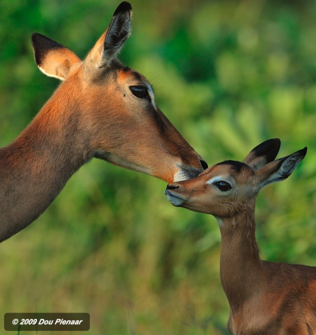 Sabi Sabi - Newborn Impala Lamb