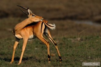 Impala dealing with parasites