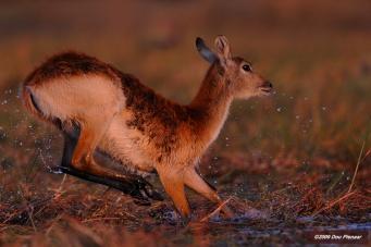 Chobe River - Female Letchwe escape