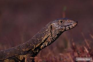 Water Monitor Lizard - Chobe