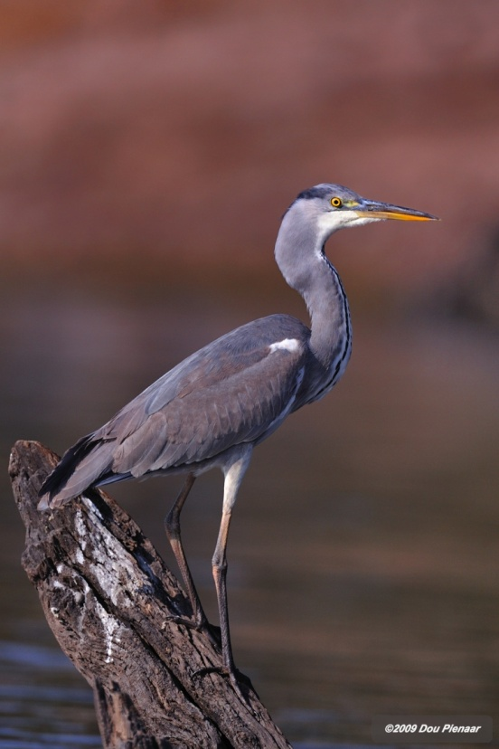 Perced Grey Heron