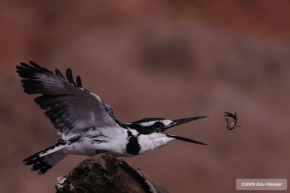 Pied Kingfisher killing the fish before eating it