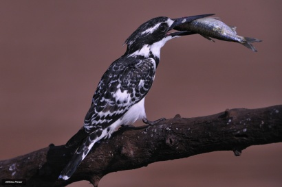 Ready to swallow a handsome meal - Pied Kingfisher - Chobe River