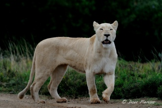 White Lioness - Pumba game reserve - Eastern Cape, South Africa