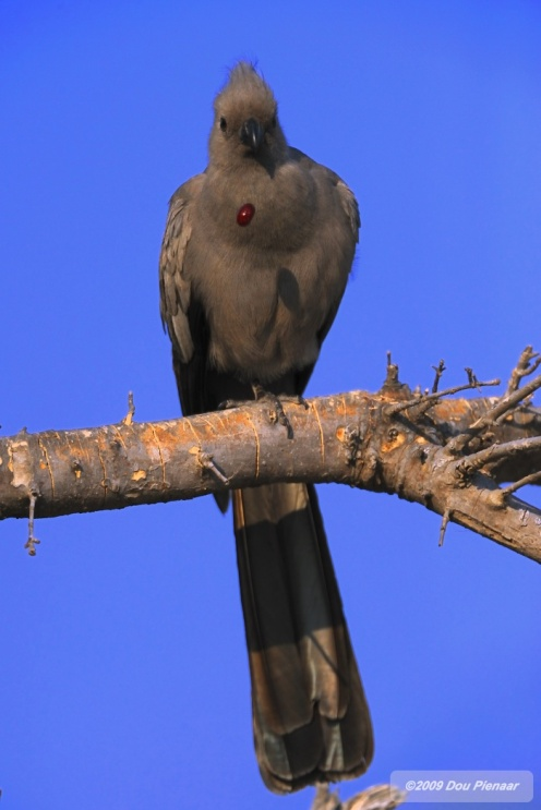 Grey Go-Away Bird spitting out pips