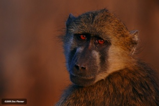 Chobe - Sad face Baboon