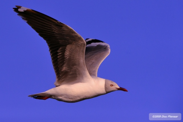 Seagull in the African Bush