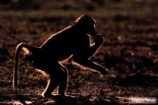 Chobe River - Sihouette Baboon