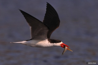 Chobe river - Skimmer Meal