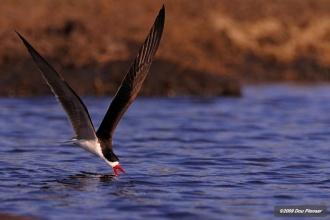 African Skimmer feeding