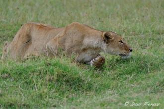 Stalking Ngorongoro Crater Lioness