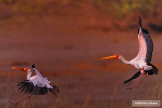 Yellow Billed Stork territory battle