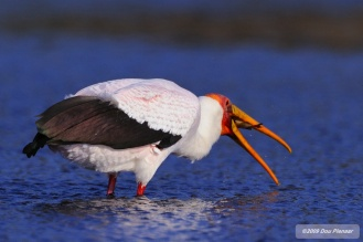Yellow Billed Stork Fishing