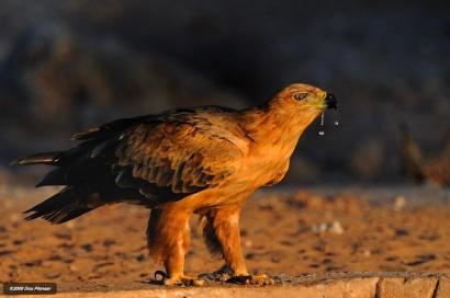 Kgalagadi - Tawney Eagle