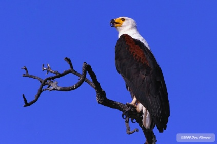 African Fish Eagle Tung