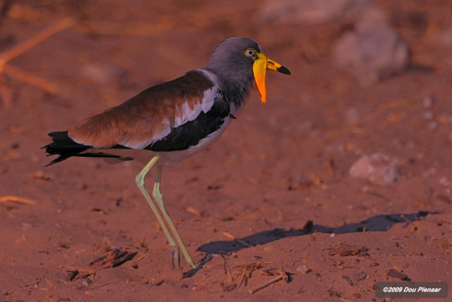 Watled Lapwing on the Chobe River Banks