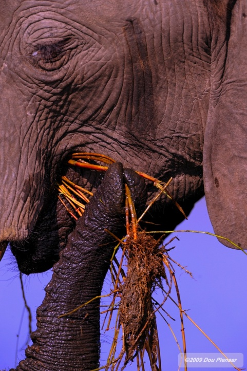 The useful trunk of an Elephant