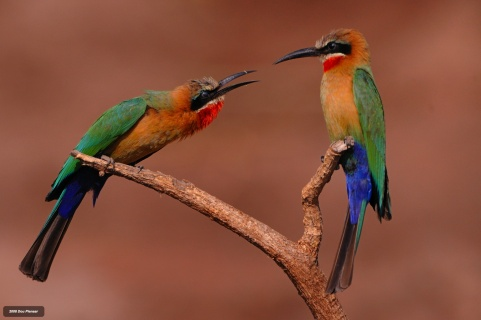 White fronted Bee-eater dispute