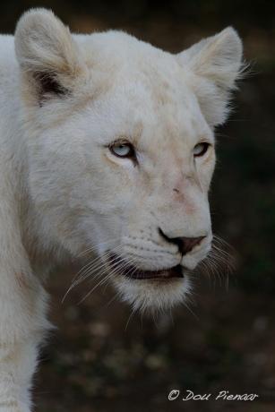 White Lioness Cub - Pumba Reserve Eastern Cape, RSA