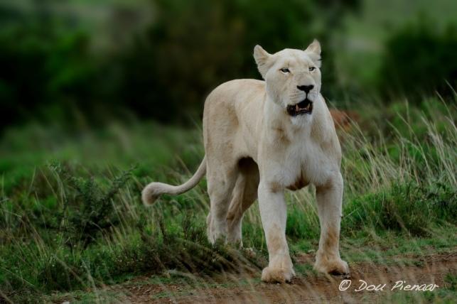 Stalking White Lioness - Pumba