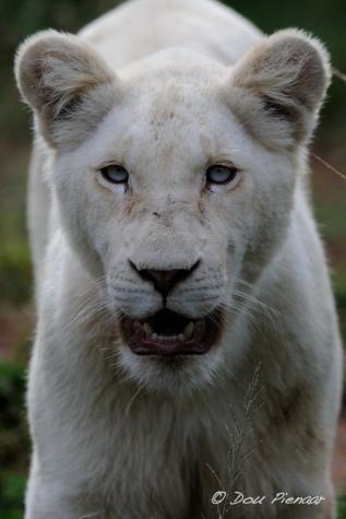 Gorgeous Lioness Cub - Pumba