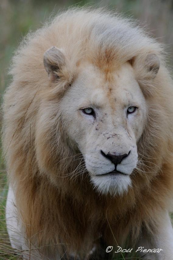 Unusual White Male Lion