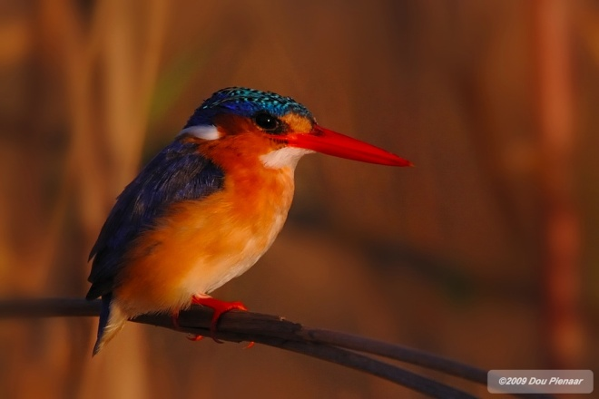 Malchite Kingfisher