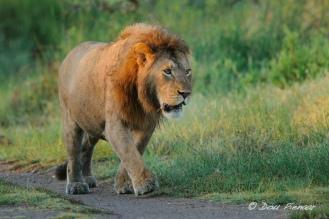 Serengeti (Ngutu consession) Male Lion.