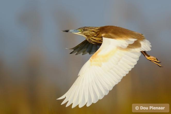 Squacco Heron - Delta Botswana