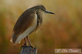 Perched Squacco Heron - Okavango Delta