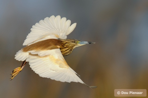 Attractive colours of the Squacco Heron