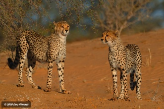 Khalagadi Cheetah siblings