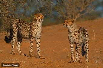 Khalagadi Cheetah siblings