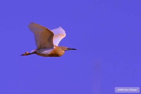 Chobe Squacco Heron in flight