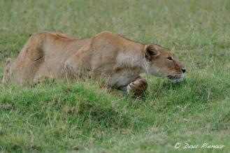 Ngorongoro crater Stalking Lioness