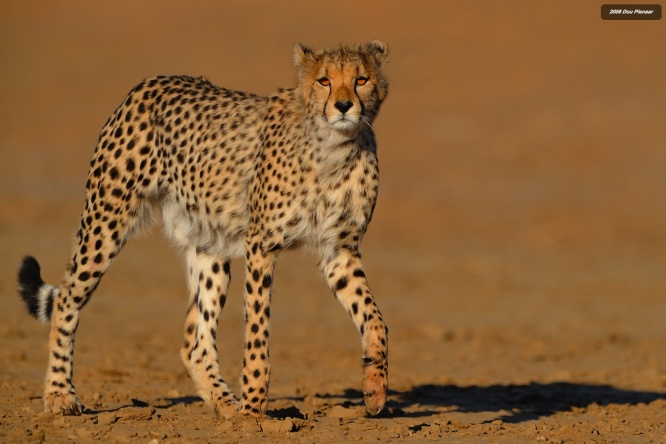 My most favourite Cheetah image
