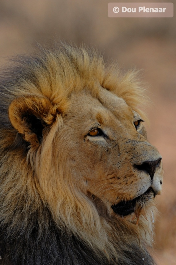 He rules the Kgalagadi