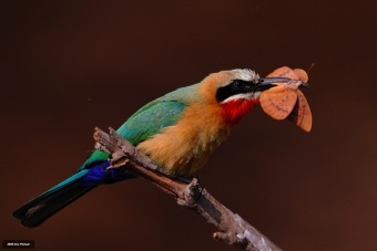 Butterfly meal for White fronted Bee-eater