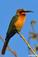 White fronted Bee-eater portrait