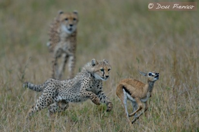 Cheetah Hunting Lesson