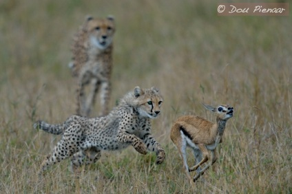 Cheetah Hunting Lesson