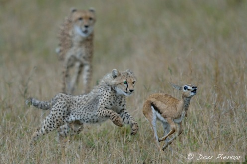 The Fawn makes a break and the Cub instinctively chase!