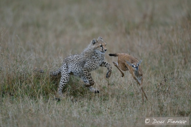 Cheetahs can change direction in mid air and it seems so can the Thompsons Gazelle Fawn.