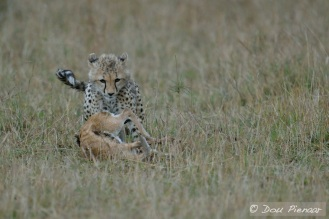 One of at least three occasions where the Cub managed to get the Fawn down and ready for the Kill!