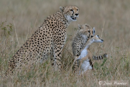 The Cheetah Hunting Lesson complete!