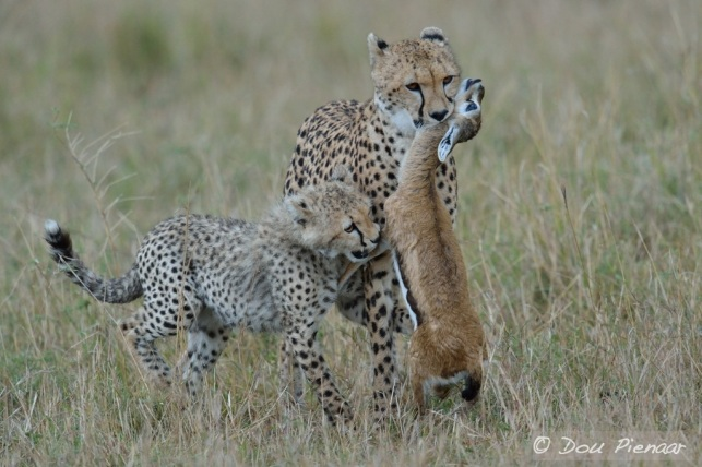 The cub is determined to get in on the act, but the mother has other plans.