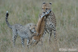 While mother moves the prey, the Cub wants to eat.