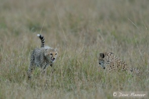 The Cub returning to the mother and the kill after chasing away a Black backed Jackal that got to close.