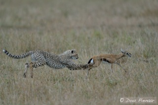 Classical Cheetah 'Tripping' of the prey to make the prey unstable and fall. The Cub has watched his mother do this many times before.